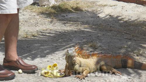 Me feeding an Iguana